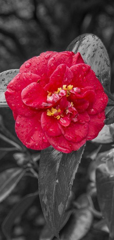 Camellia Dew Photoshop 1080x2270 380x799