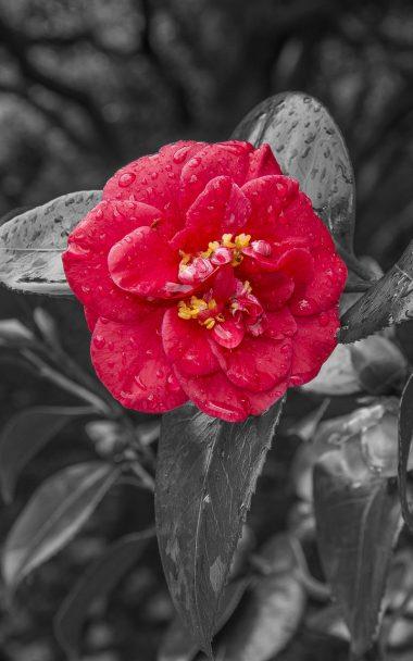Camellia Dew Photoshop 800x1280 380x608
