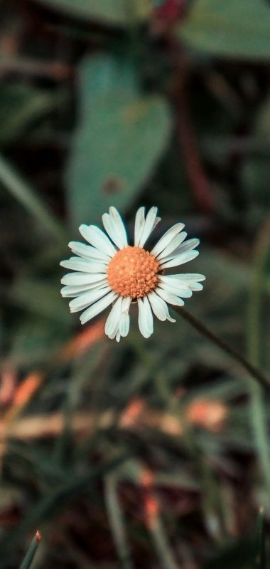 Chamomile Flower Field Flower 1080x2270 380x799