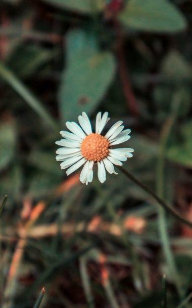 Chamomile Flower Field Flower 800x1280 380x608