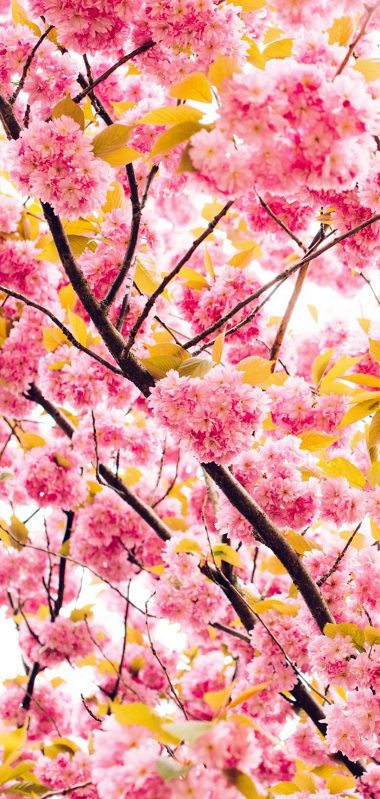 Cherry Flowers Flowering Tree 1080x2270 380x799