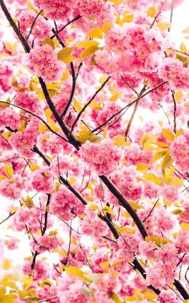 Cherry Flowers Flowering Tree 800x1280 380x608