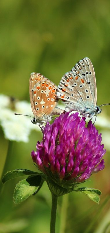 Clover Butterfly Bud Grass Blurred 1080x2270 380x799