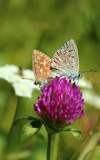 Clover Butterfly Bud Grass Blurred 800x1280 380x608