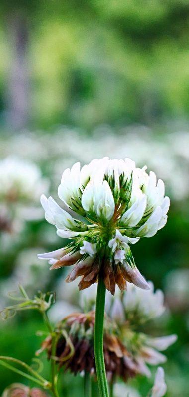 Clover Flowers Plant 1080x2270 380x799