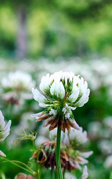 Clover Flowers Plant 800x1280 380x608
