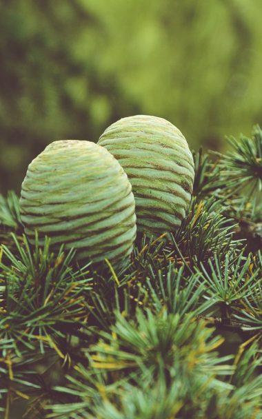 Cones Tree Needles 800x1280 380x608