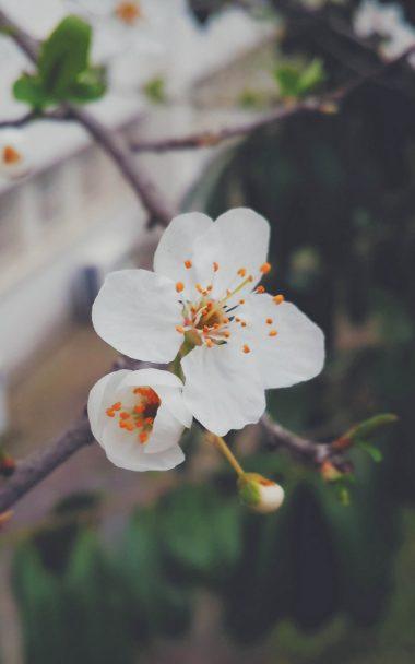 Flower Flowering Tree Branch Spring 800x1280 380x608