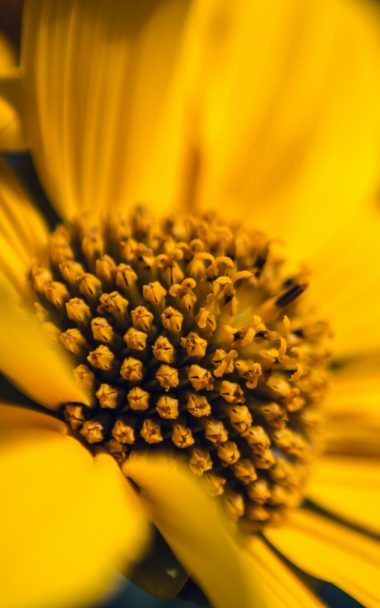 Flower Macro Petals Sunflowers 800x1280 380x608
