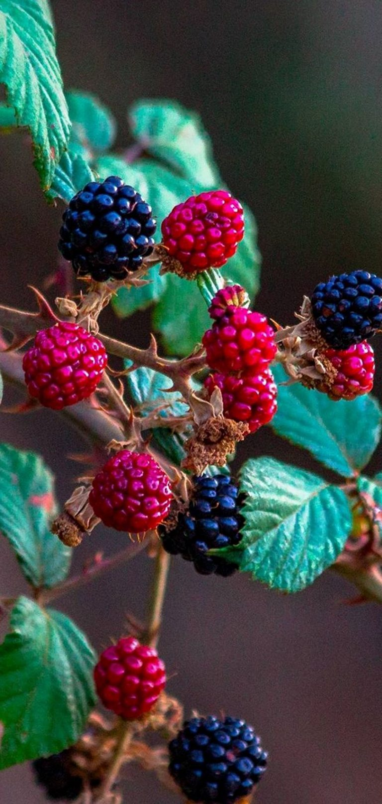 Fruits Raspberry Blackberry 1080x2270 768x1614