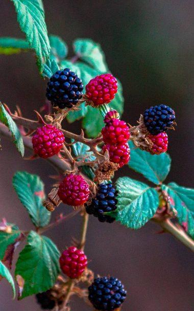 Fruits Raspberry Blackberry 800x1280 380x608