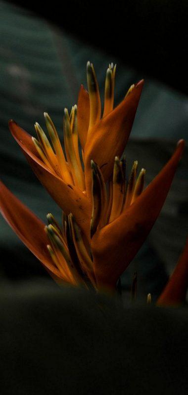 Heliconia Flower 1080x2270 380x799