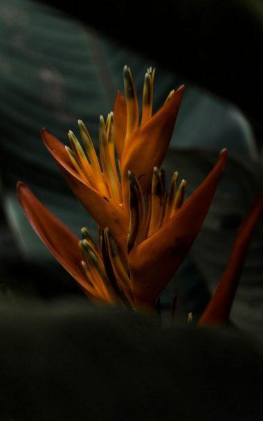 Heliconia Flower 800x1280 380x608