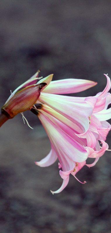 Lily Flower Bud Pink Stem 1080x2270 380x799