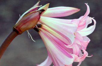Lily Flower Bud Pink Stem 800x1280 340x220