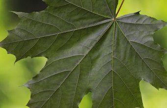 Maple Leaf Glare 1080x2270 340x220