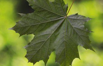 Maple Leaf Glare 800x1280 340x220