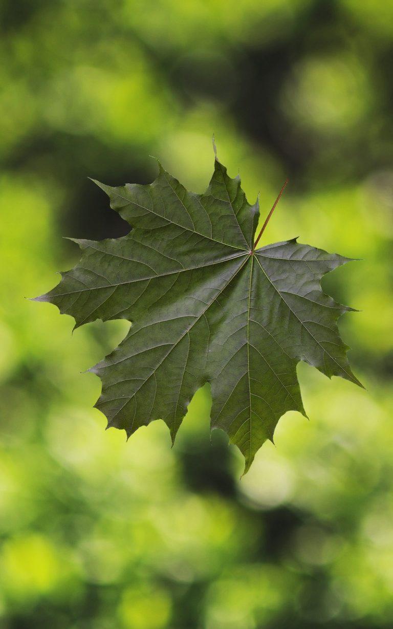 Maple Leaf Glare 800x1280 768x1229