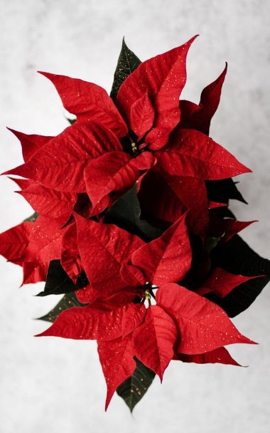 Poinsettia Red Flower 800x1280 380x608
