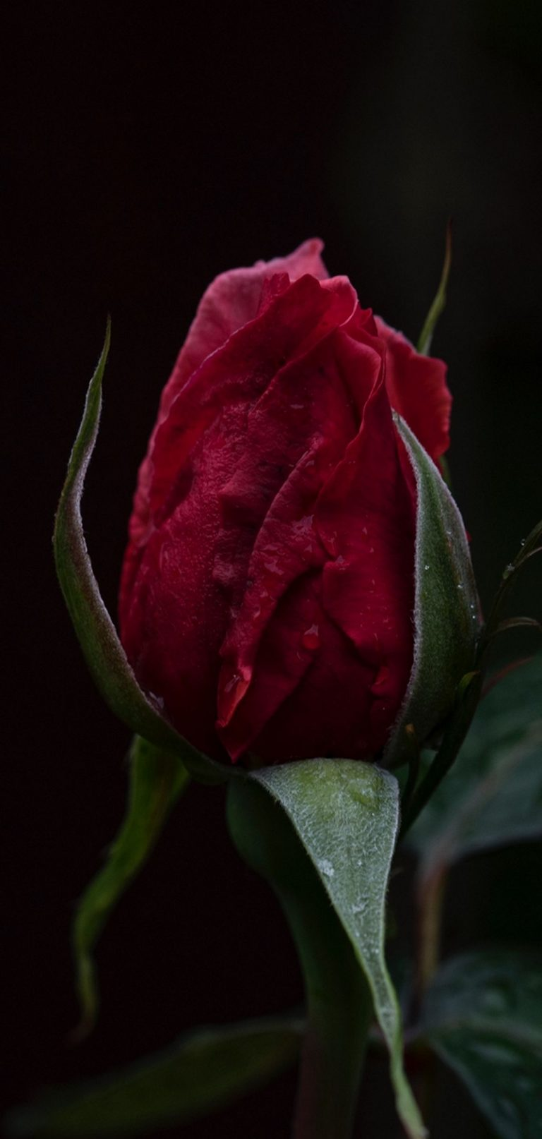 Rose Bud Dark Background 1080x2270 768x1614