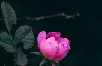 Rose Bush Garden 1080x2270 340x220