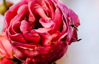 Rose Flower Bud Close Up 1080x2270 340x220