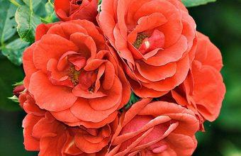 Roses Bush Buds 1080x2270 340x220