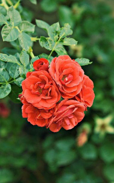 Roses Bush Buds 800x1280 380x608