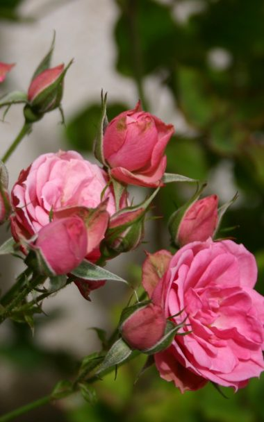 Roses Flowers Buds 800x1280 380x608