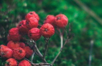 Rowan Branch Berries 1080x2270 340x220