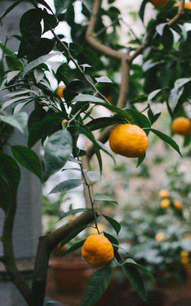 Tangerines Oranges Branch Tree 800x1280 380x608