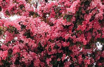 Tree Cherry Flowering Spring 1080x2270 340x220