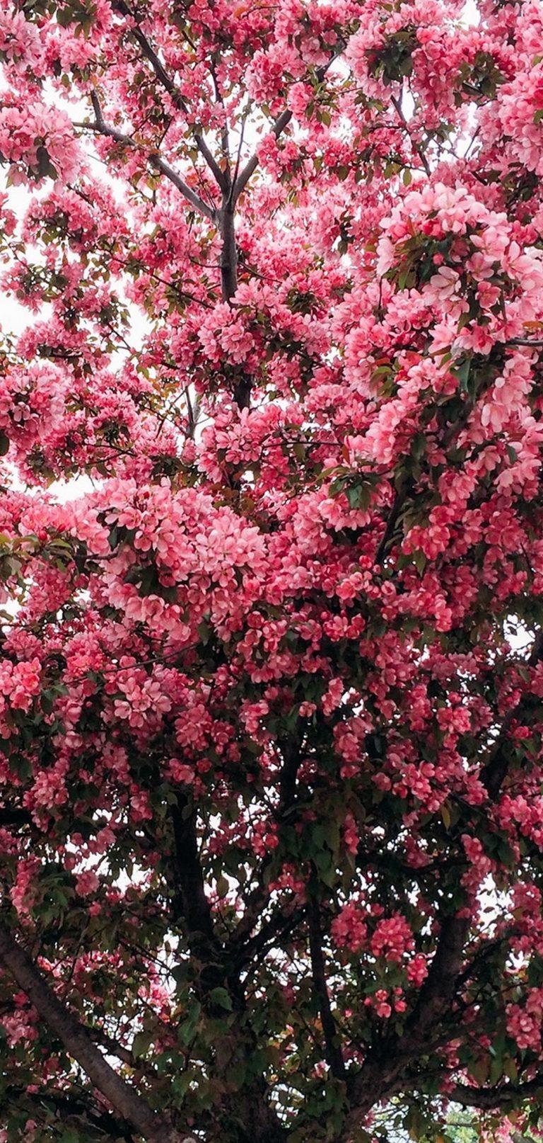 Tree Cherry Flowering Spring 1080x2270 768x1614