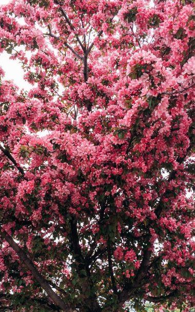 Tree Cherry Flowering Spring 800x1280 380x608