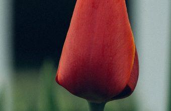 Tulip Flower Bud Blur 1080x2270 340x220