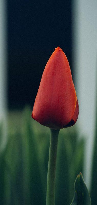 Tulip Flower Bud Blur 1080x2270 380x799