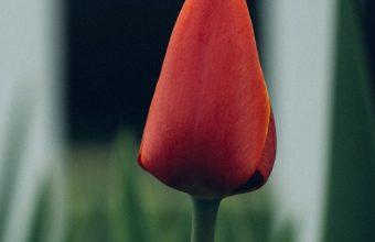 Tulip Flower Bud Blur 800x1280 340x220