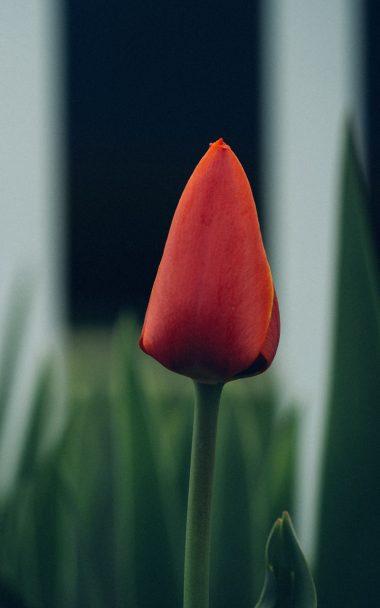 Tulip Flower Bud Blur 800x1280 380x608