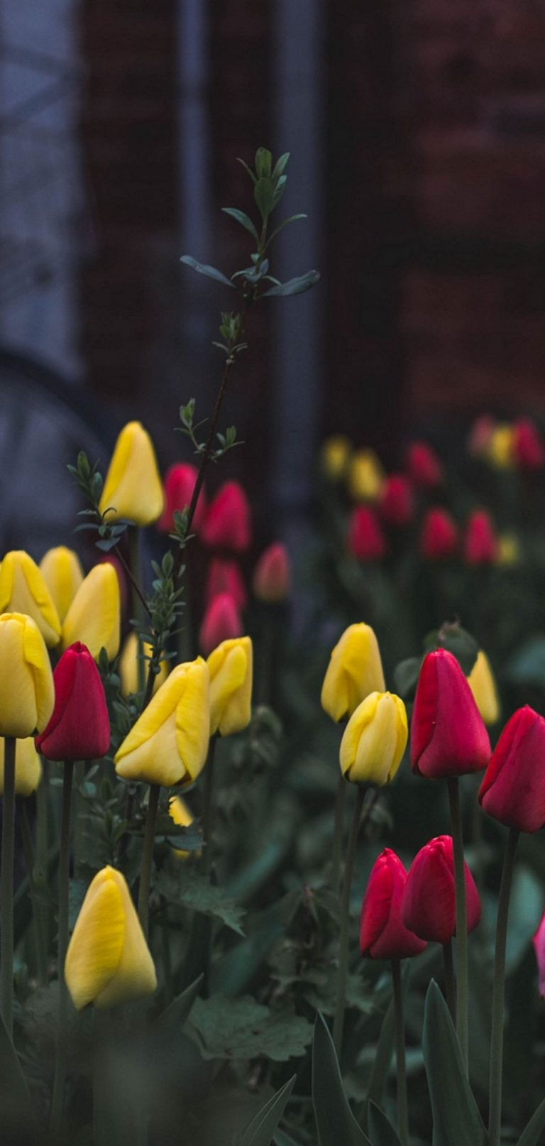 Tulips Flower Bed Flowers 1080x2270 768x1614