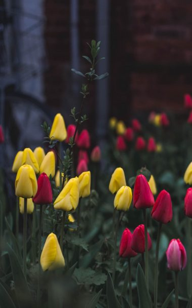 Tulips Flower Bed Flowers 800x1280 380x608