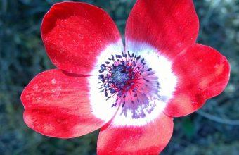 Anemone Flower Petals Bud 1536x864 340x220