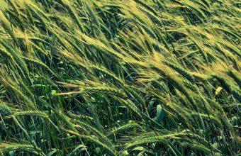 Barley Cereals Field 1536x864 340x220