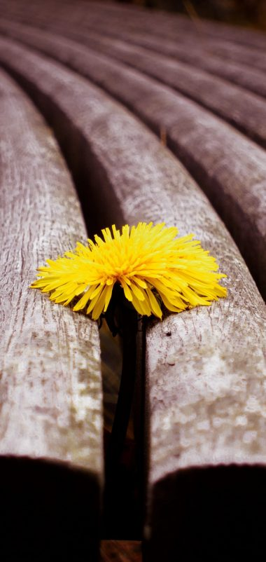 Close Up Timber Dandelion Yellow Wallpaper 1440x3040 380x802