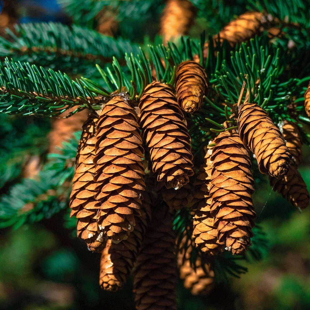 Hello December wallpaper with fir tree and pine cones on rustic