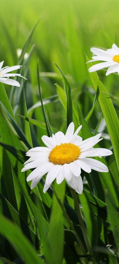 Daisies Flowers Grass Green Blur 1080x2400 380x844