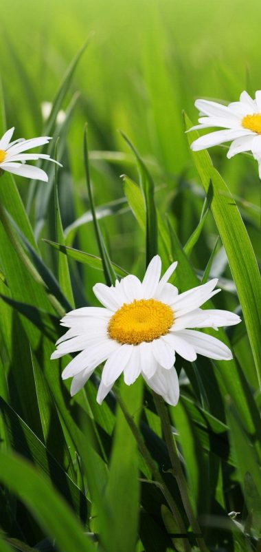 Daisies Flowers Grass Green Blur Wallpaper 1440x3040 380x802