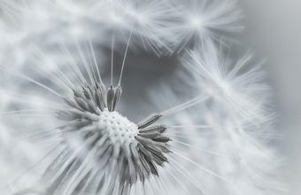 Dandelion Flower Feathers Seeds Black And White 1920x1200 340x220