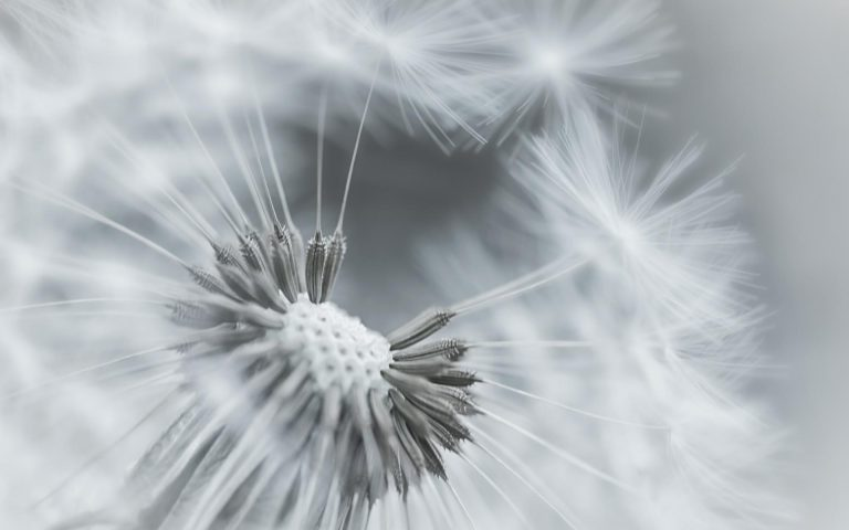 Dandelion Flower Feathers Seeds Black And White 1920x1200 768x480