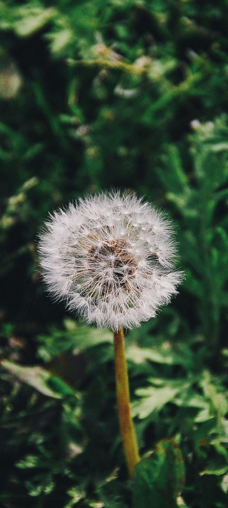 Dandelion Flower Grass 1080x2400 768x1707