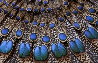 Feathers Peacock Light Background Texture 1920x1200 340x220